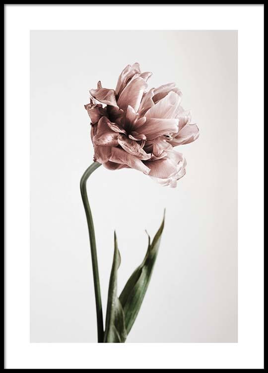 pink tulipe no1 poster. Black Bedroom Furniture Sets. Home Design Ideas
