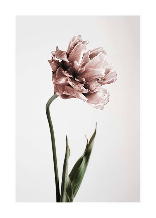 Pink Tulipe No1 Poster / Photography at Desenio AB (2119)
