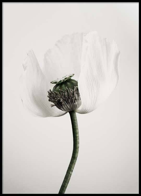 White poppy flower poster mightylinksfo