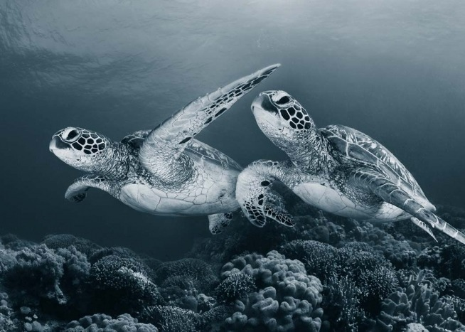 Turtle Love Poster / Photography at Desenio AB (2671)
