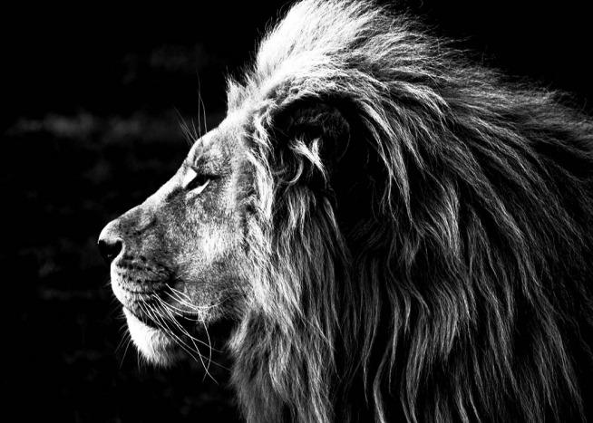 Lion bw poster