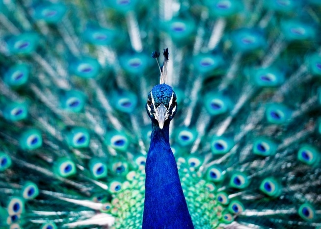 Peacock Close Up Poster / Photography at Desenio AB (2926)