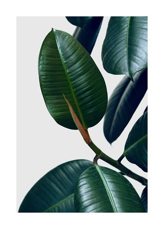 Rubber Plant Two Poster / Photography at Desenio AB (3338)