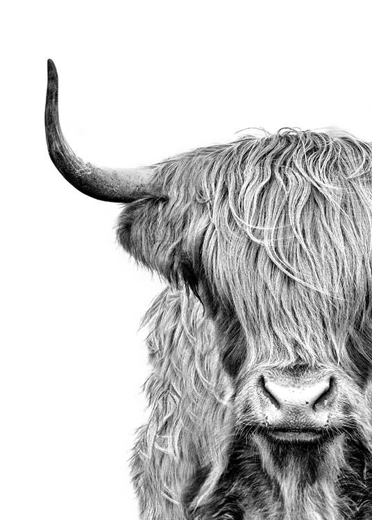 – Black and white photograph of a the face of a highland cow with fur in front of it's eyes