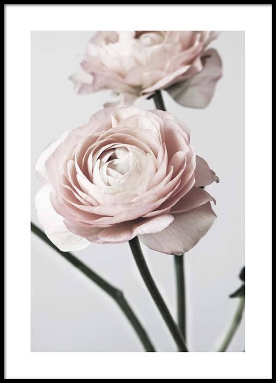 pink ranunculus one poster. Black Bedroom Furniture Sets. Home Design Ideas