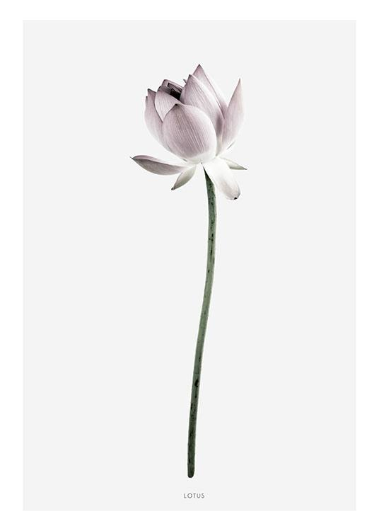 Botanical Poster With Photograph Of Lotus Flower Print
