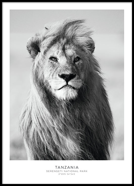 stylish poster with lion black and white prints for picture wall