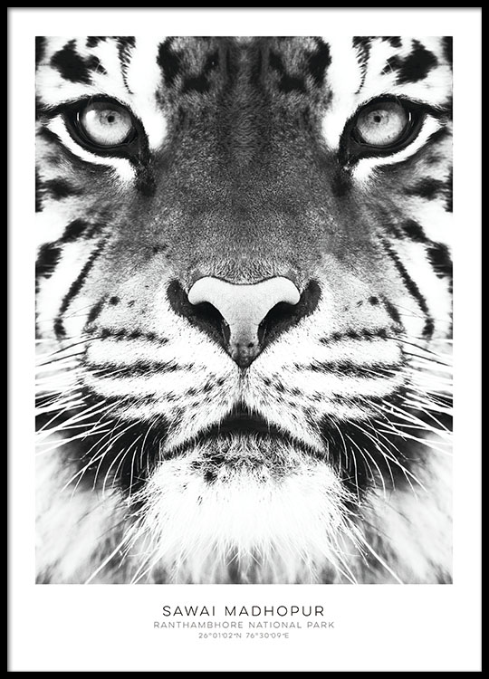 poster with tiger black and white posters stylish prints online