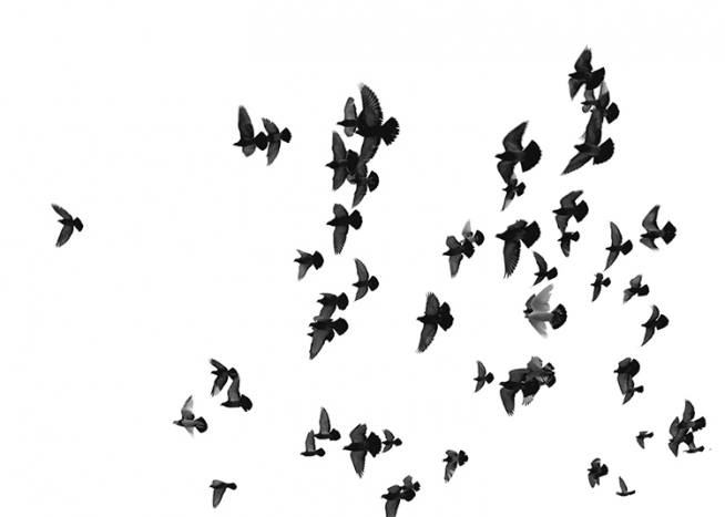 Flying Birds, Poster / Black & white at Desenio AB (8419)
