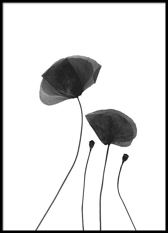 Black poppy flowers poster mightylinksfo