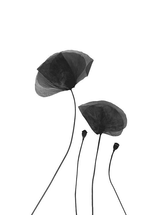 Black Poppy Flowers Poster