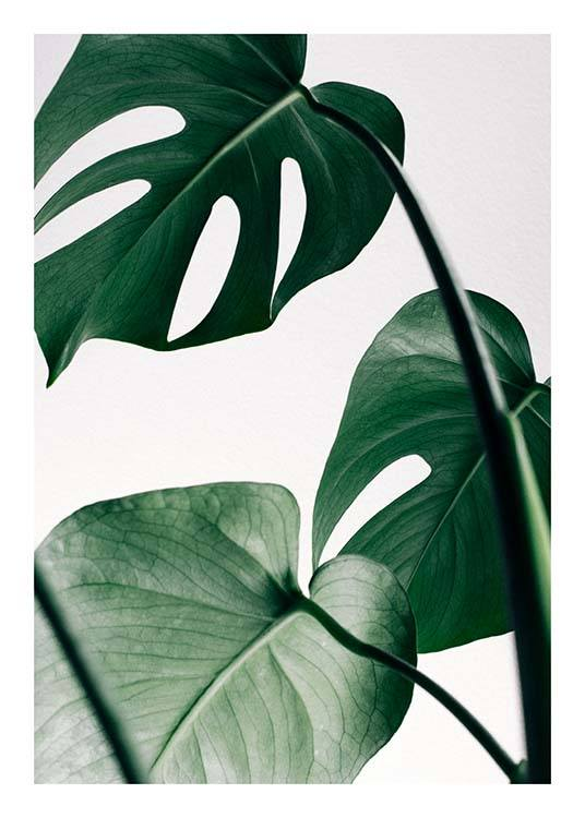 – Photograph of a bunch of green monstera leaves against a light grey background