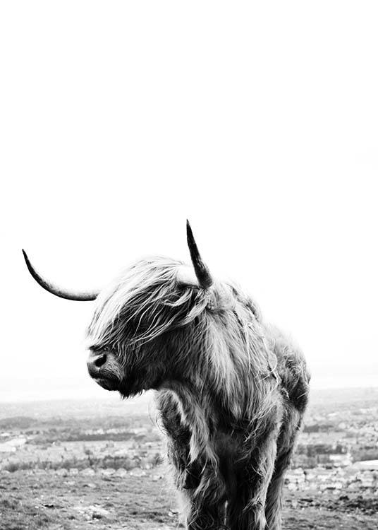 – Black and white photograph of a highland cow with its head to the side